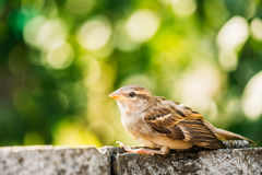 House Sparrow (Passer Domesticus) On Fence Royalty Free Stock Images