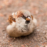 House Sparrow, Passer domesticus, foraging Royalty Free Stock Photography
