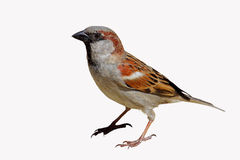House Sparrow Passer domesticus Stock Image
