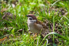 House Sparrow (Passer domesticus). In the grass Stock Photos