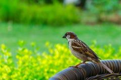 House Sparrow (Passer domesticus). In green garden Stock Photography