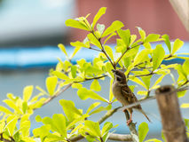 House Sparrow (Passer domesticus) Royalty Free Stock Images