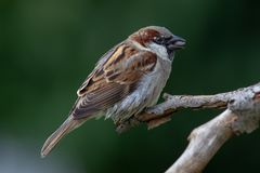 House Sparrow Passer domesticus. Male House Sparrow Passer domesticus in the garden Stock Image