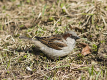 House sparrow, Passer domesticus, male portrait on grass, selective focus Royalty Free Stock Image