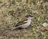 House sparrow, Passer domesticus, male portrait on grass, selective focus Stock Photos