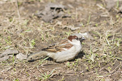 House sparrow, Passer domesticus, male portrait on grass, selective focus Royalty Free Stock Images