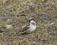 House sparrow, Passer domesticus, male portrait on grass, selective focus Stock Photo