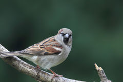 House Sparrow (Passer domesticus). Male House Sparrow (Passer domesticus) sitting on a branch in the garden Stock Photo
