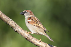 House Sparrow (Passer domesticus) Royalty Free Stock Image