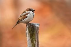 House Sparrow - Passer domesticus. Male House Sparrow standing on a pose with autumn colours in the background. High Park, Toronto, Ontario, Canada royalty free stock photo