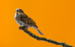 House Sparrow, Passer domesticus Stock Photo