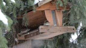 House Sparrow Passer domesticus picking up a seed on bird feeder.  stock footage
