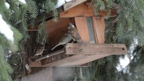 House Sparrow Passer domesticus picking up a seed on bird feeder.  stock video footage