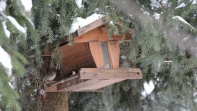 House Sparrow Passer domesticus picking up a seed on birdfeeder.  stock video footage