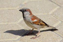 House Sparrow (Passer domesticus) Stock Photography