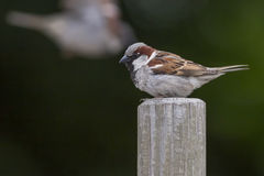 House sparrow (Passer domesticus) Royalty Free Stock Photos