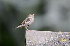House sparrow, Passer domesticus. Single female on tiled roof royalty free stock photos