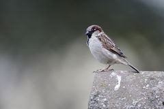 House sparrow, Passer domesticus. Single male on roof, Warwickshire, May 2013 royalty free stock images