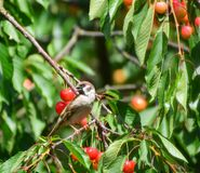A house sparrow on a cherry branch. The house sparrow, Passer domesticus, sits on a branch full of red cherries royalty free stock image