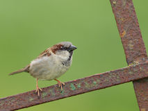 House Sparrow. (Passer domesticus) sitting on a fence Royalty Free Stock Photo