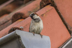 House sparrow (Passer domesticus). A house sparrow is sitting on a housetop Stock Images