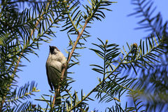 House Sparrow / Passer domesticus sitting in a thuja tree Royalty Free Stock Photography