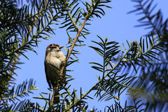 House Sparrow / Passer domesticus sitting in a thuja tree Stock Photos