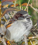 House sparrow (Passer domesticus) on a tree branch. A bird of the sparrow family Passeridae. Royalty Free Stock Images