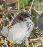 House sparrow (Passer domesticus) on a tree branch. A bird of the sparrow family Passeridae. Stock Photography