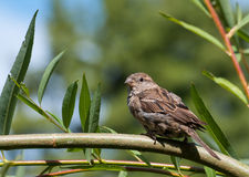 House sparrow (passer domesticus) on a twig. House Sparrow (Passer domesticus) sitting on a twig Royalty Free Stock Photo