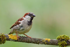 House Sparrow (Passer domesticus). House Sparrow (Passer domesticus) on a twig stock photo