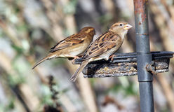 House sparrow. (Passer domesticus) stock photography