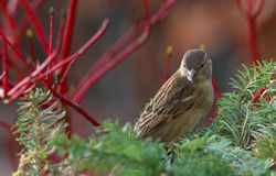 House Sparrow, Passer domesticus, Stock Photos