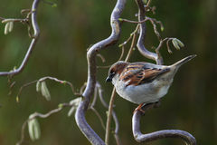 House Sparrow, Passer domesticus, Royalty Free Stock Photography