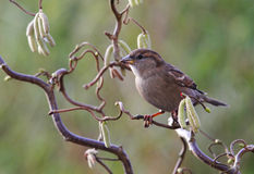 House Sparrow, Passer domesticus, Royalty Free Stock Images