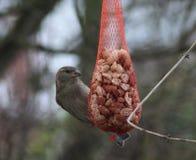 House sparrow on peanut net Stock Photo