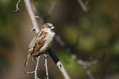 House Sparrow perched on branch. House Sparrow (passer domesticus domesticus) perched on branch in Central Park, New York City Stock Image