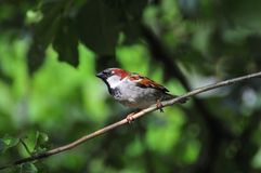 House Sparrow perched on a branch. Royalty Free Stock Photography