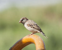 House sparrow perched on a chair Stock Images