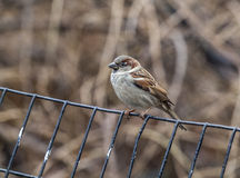 House sparrow perched on fence Royalty Free Stock Images