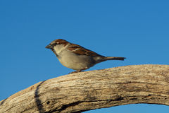 House Sparrow Perched Royalty Free Stock Image