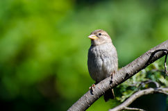 House Sparrow Perched in a Tree Stock Images