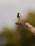 House Sparrow perching on Olive tree branch Stock Images
