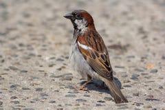 House sparrow. Portrait of garden bird on concrete path. House sparrow Passer domesticus. Portrait of garden bird on concrete path Stock Image