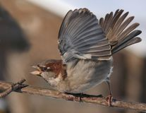 House Sparrow power and force display with lifted wings. House Sparrow intimidation display with lifted wings stock photography