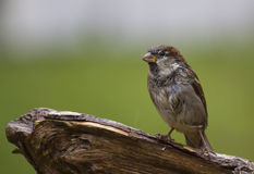 House sparrow in the rain. A very wet house sparrow sitting in the rain Royalty Free Stock Photography
