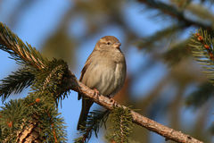 House Sparrow in the rays of the sun Royalty Free Stock Photography