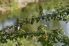 House sparrow resting on branche of wild plum with yellow fruits and leaves Stock Photography
