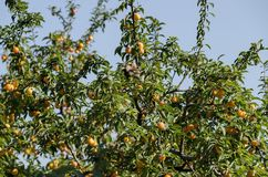 House sparrow resting on branche of wild plum with yellow fruits and leaves Stock Images