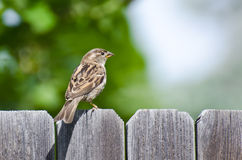House Sparrow Resting on the Fence Stock Photography